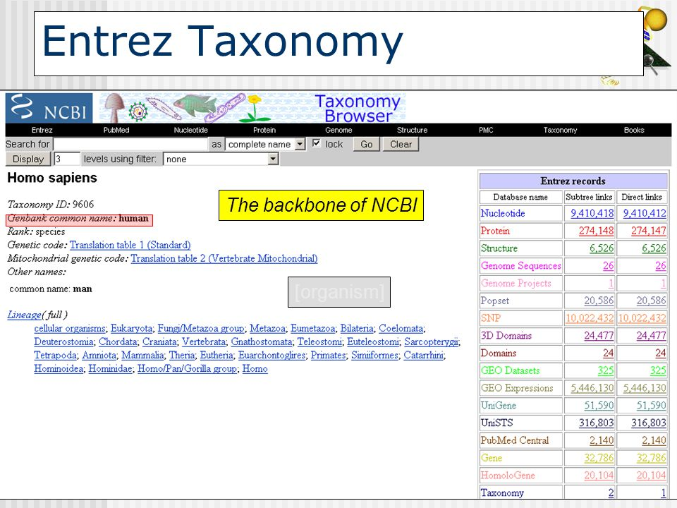 Entrez Taxonomy The backbone of NCBI [organism]